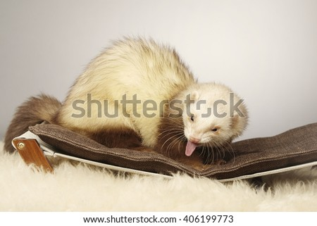 Cinnamon ferret portrait in studio - stock photo