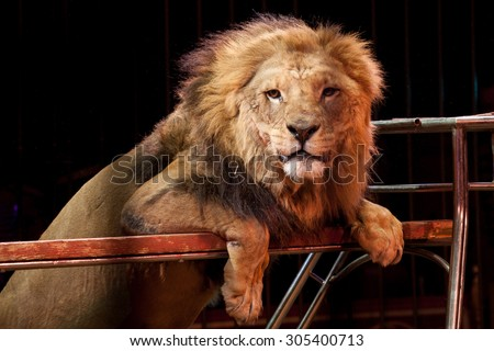 Circus lion portrait in a cage and audience background - stock photo