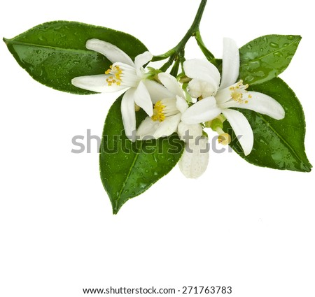 citrus blooming branch close up isolated on white background - stock photo
