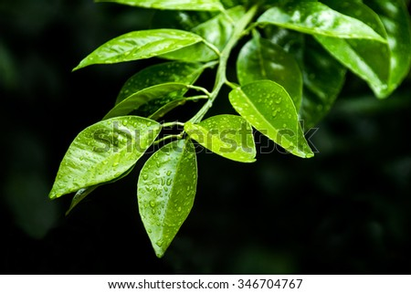 citrus green leaf after rain, citrus tree branch close-up - stock photo