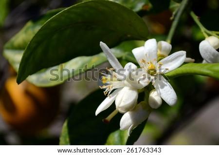 Citrus Sinensis Bloom, Orange Blossom - stock photo