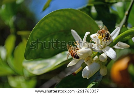 Citrus Sinensis Bloom with Bees - stock photo