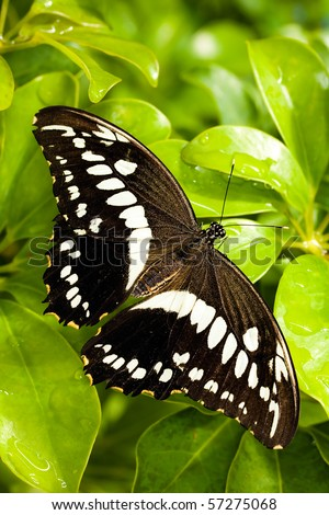 Citrus Swallowtail Butterfly. - stock photo