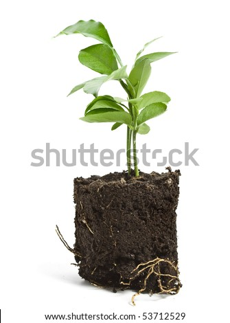 citrus tree sapling seedling in soil isolated on white background - stock photo