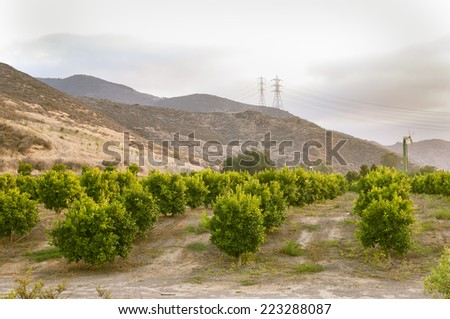 Citrus trees in an orchard in Southern California - stock photo