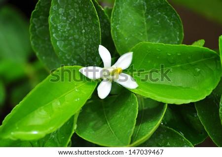 Citrus x hystrix , Kaffir lime Flower - stock photo