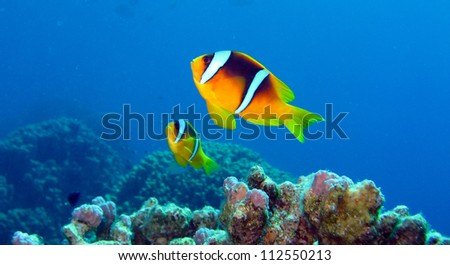 Clark's Anemonefish couple in the Red Sea,Egypt - stock photo