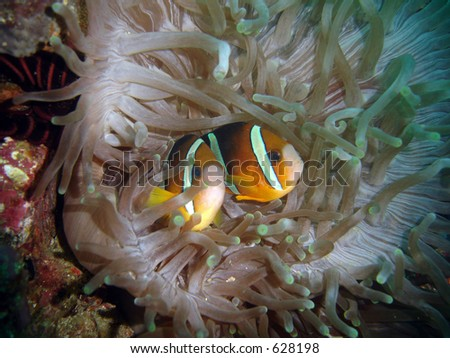 Clarks anemonefish, Amphiprion clarkii in an anemone in the Philippines - stock photo