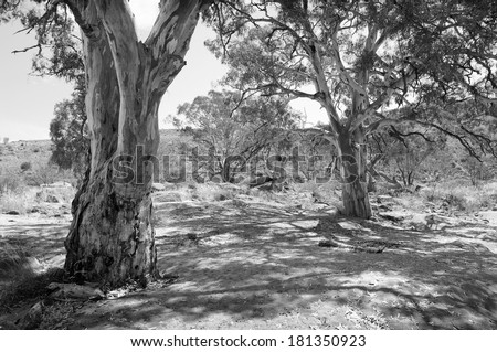 Classic Australian outback bush scenic with huge gum tree's in a dry river bed in black and white - stock photo