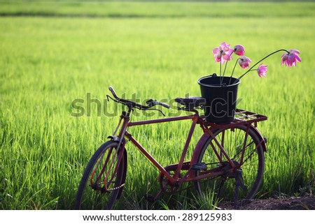 classic bicycle in paddy field - stock photo