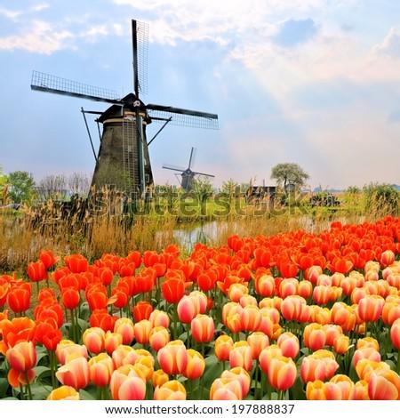 Classic Dutch windmills with orange tulips and sunbeams, Netherlands - stock photo