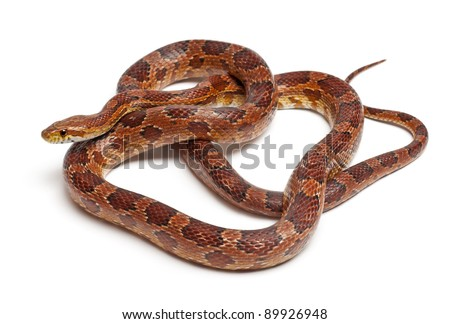 Classical Corn Snake or Red Rat Snake, Pantherophis guttatus, in front of white background - stock photo