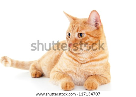 Classy red cat lies - stock photo