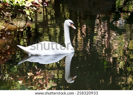 clean white lovely cute adult swan swimming slowly in a smooth water surface pond with green environment reflections on water in a zoo park in THAILAND - stock photo