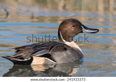 cleaning Pintail - stock photo