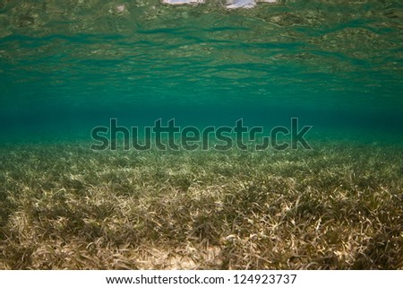 Clear water and sea grass meet on a shallow underwater flat in Belize.  Sea grass provides food and habitat for many reef-associated species. - stock photo