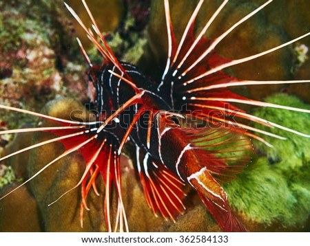 Clearfin Loionfish in corals. Similan Island, Thailand - stock photo