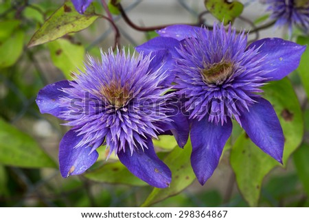 "Clematis: curly beauty The name comes from the Greek word meaning ""vine"" or ""escape"" and is explained by the fact that many species of clematis are vines. - stock photo"