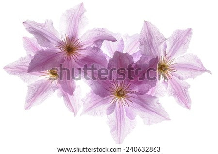 Clematis flower head isolated on white background - stock photo