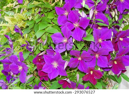Clematis Flower Vine - stock photo