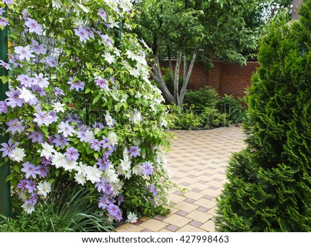 Clematis flowers completely covering a fence in home garden. - stock photo