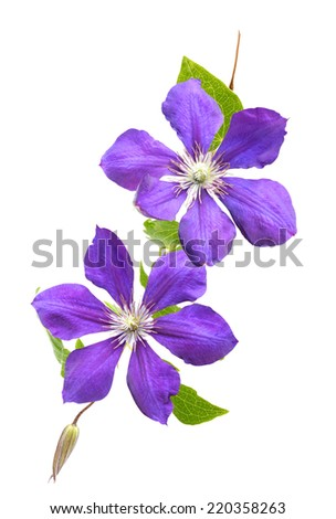 Clematis flowers isolated - stock photo