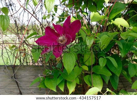 Clematis Picardy purple climbing against wooden fence - stock photo