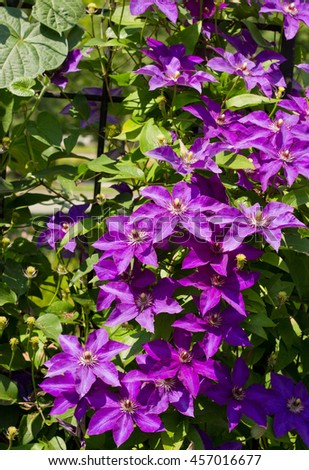 Clematis President purple flowers on the lattice vertical, summer beautiful background - stock photo