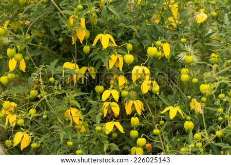 Clematis tangutica, in flower - stock photo