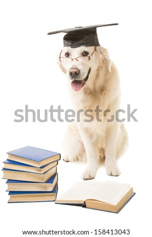 clever dog, pale-yellow labrador retriever with hat of  bachelor reading books on isolated white background - stock photo