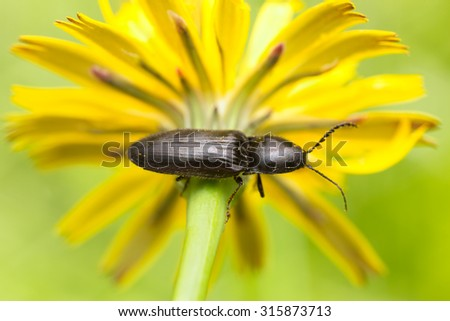 Click beetle on flower - stock photo