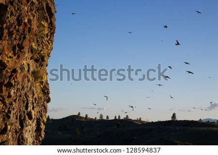 Cliff Swallows flying around nesting colony in arid environment habitat, against a blue sky at twilight, Petrochelidon pyrrhonota, Pacific Northwest nature, bird, & wildlife photography - stock photo