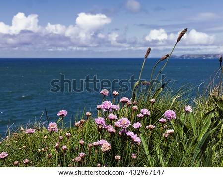 Clifftop flowers; wild blue flowers growing on cliff top with view over ocean  - stock photo
