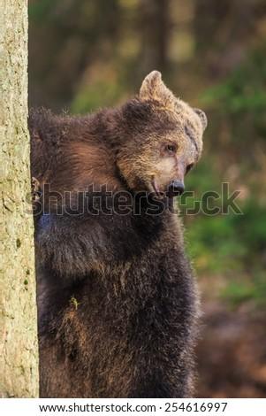 climbing brown bear - stock photo