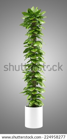 climbing houseplant in pot isolated on gray background - stock photo