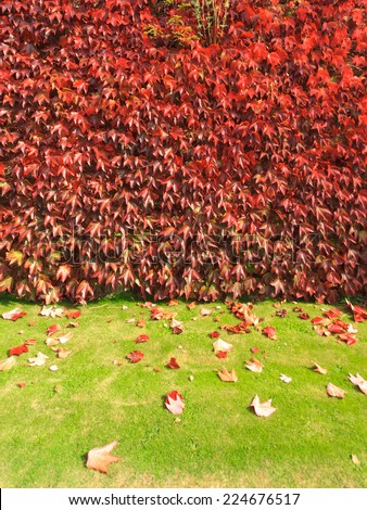 climbing plant with red leaves in autumn on the old stone wall  - stock photo