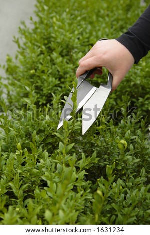 clipping a buxus hedge - stock photo