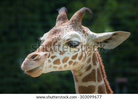Cloesup portrait of a cute young giraffe from the side - stock photo