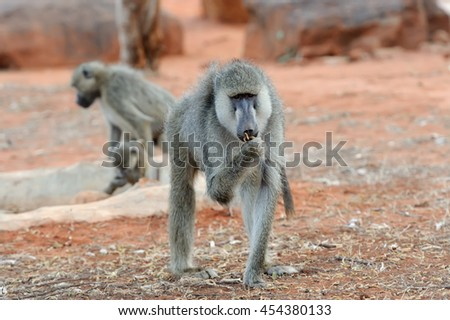 Close baboon in National park of Kenya, Africa - stock photo