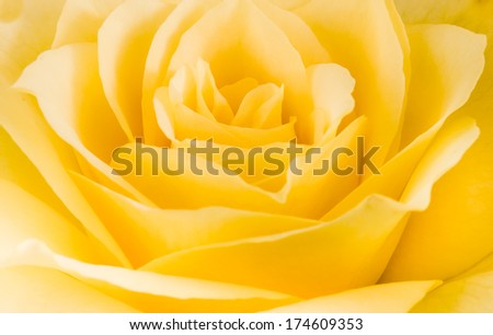 Close detail of a yellow rose flower texture - stock photo