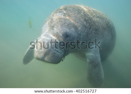 Close Encounter with a curious Manatee - stock photo