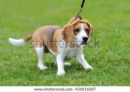 Close funny Beagle dog in green summer grass - stock photo