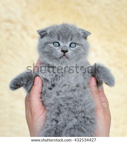 Close funny little gray kitten in woman hands - stock photo