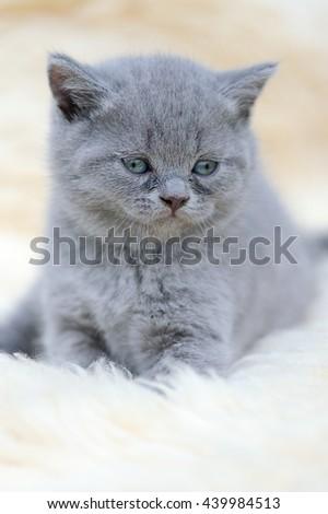 Close funny little gray kitten on white blanket - stock photo