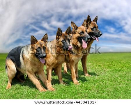Close German Shepherd dog in green summer grass - stock photo