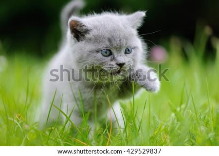 Close gray kitten in the green grass - stock photo