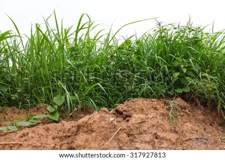 Close isolates the bottom of the grass weeds that grow on the barren soil of Agriculture, Thailand. - stock photo