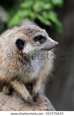 Close meerkat on branch in nature - stock photo