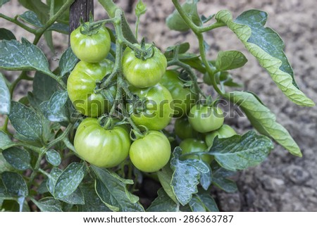 Close of green tomato growing in the garden, solanum lycopersicum. Agriculture concept. Selective focus and shallow dof. - stock photo