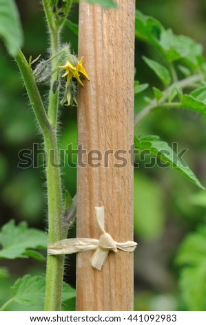 close on a tomatoes plants on wooden stick in garden - stock photo